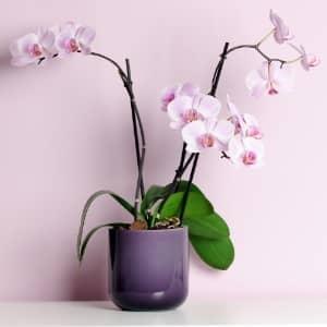 orchidee phalaenopsis dans un pot