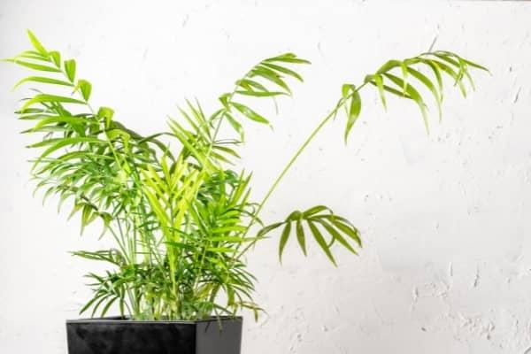 palmier dinterieur