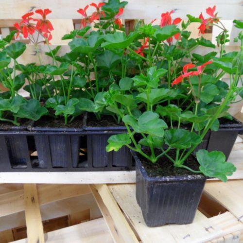 plant geranium lierre rouge auxine jardinerie