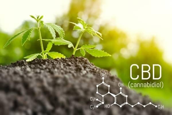 plante de cbd