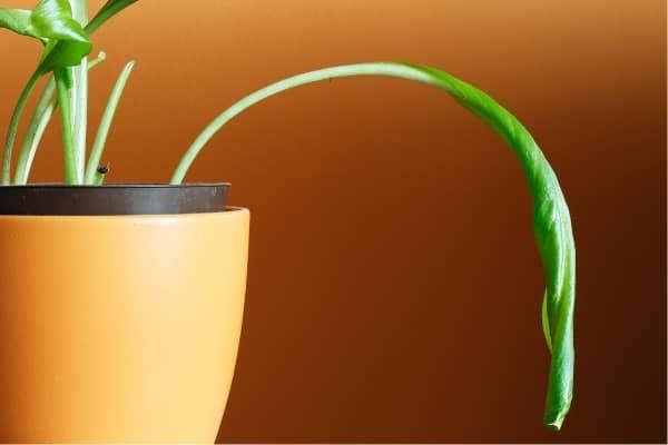 plante en manque d eau dpv trop haut