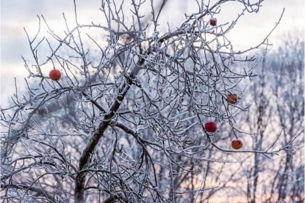 pomme sur arbre gele en janvier