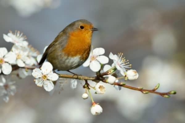 predateur de la mouche du cerisier