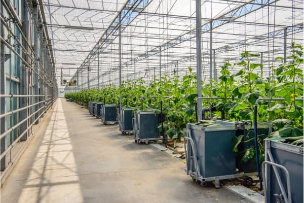 production industrielle de concombres en hydroponie