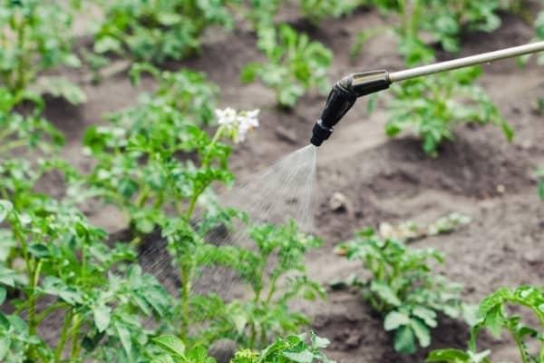 pulveriser les plantes avec du sel d epsom auxine jardinerie alternative colmar
