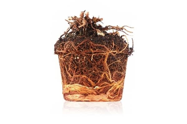 racines chignonnees