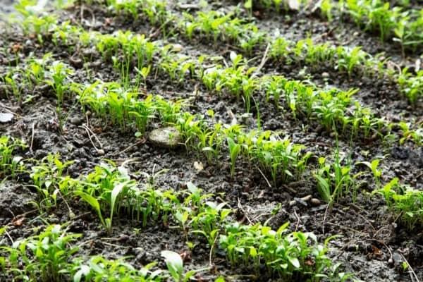 rangs de semis de persil