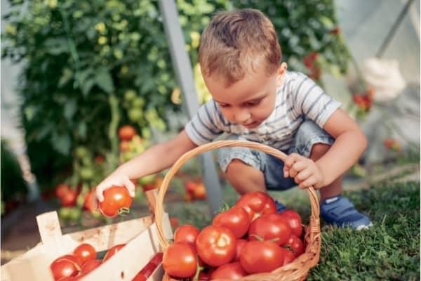 recolte de la tomate