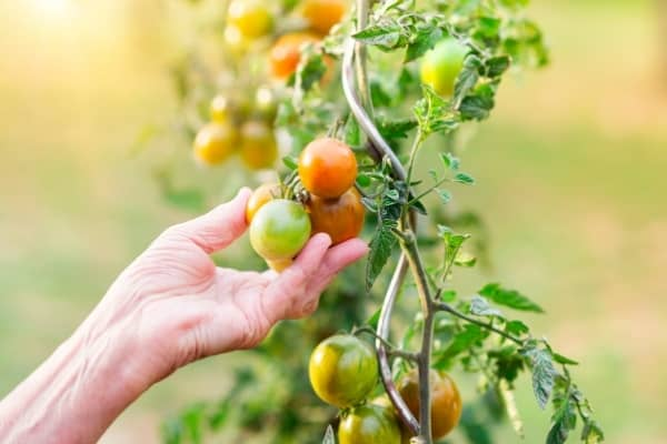 recolte des tomates