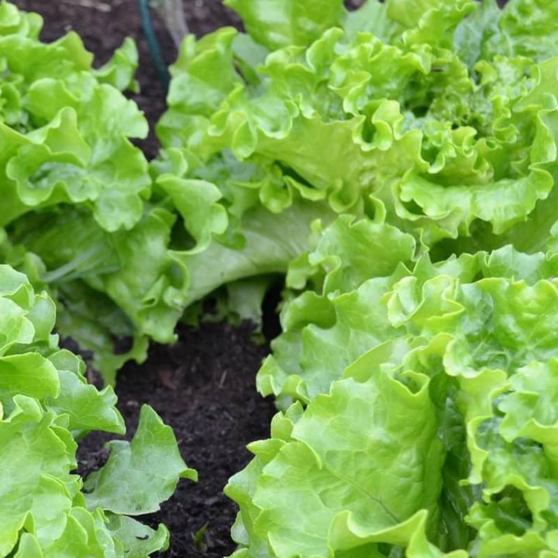 salade laitue batavia