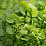 salade laitue feuille de chene