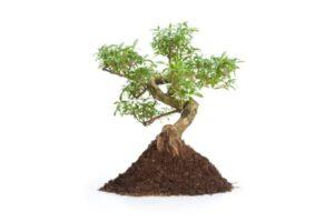 subtsrat pour bonsai