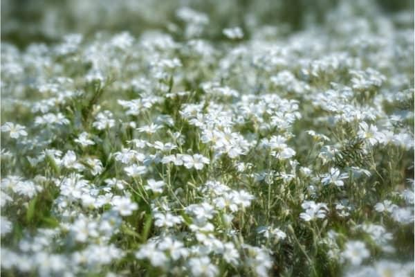 tapis de cerastium couvre sol