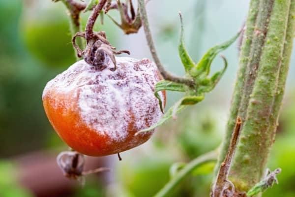 tomate atteinte par la pourriture grise botrytis