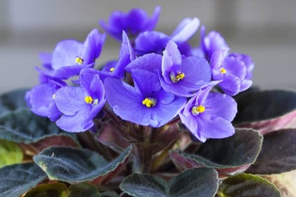 violette africaine saintpaulia ionantha